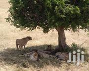 3 Days (2 Nights) Masai Mara Daily Trips | Travel Agents & Tours for sale in Nairobi, Nairobi Central