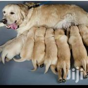 Adult Male Purebred Golden Retriever | Dogs & Puppies for sale in Nairobi, Nairobi Central