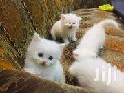 Baby Female Purebred Persian | Cats & Kittens for sale in Nairobi, Westlands