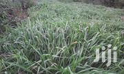 Bracharia Grass | Feeds, Supplements & Seeds for sale in Nairobi, Nairobi Central