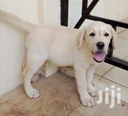 Baby Male Purebred Labrador Retriever | Dogs & Puppies for sale in Nairobi, Kahawa