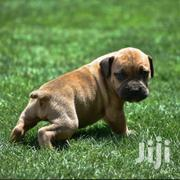 Young Female Purebred Boerboel | Dogs & Puppies for sale in Nairobi, Kitisuru