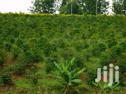 Coffee Farm For Sale In Gatura Murang'a | Land & Plots For Sale for sale in Murang'a, Gatanga