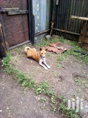 Adult Female Mixed Breed | Dogs & Puppies for sale in Nairobi, Nairobi Central