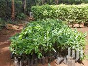 Pure Hass Avocado Seedlings | Feeds, Supplements & Seeds for sale in Nairobi, Westlands