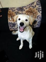Young Male Purebred Japanese Spitz | Dogs & Puppies for sale in Nairobi, Zimmerman