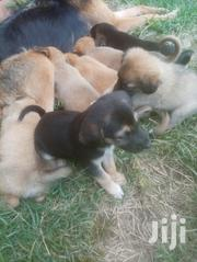 Young Female Mixed Breed Anatolian Shepherd Dog | Dogs & Puppies for sale in Bungoma, Maraka