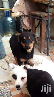 Baby Male Purebred Rottweiler   Dogs & Puppies for sale in Kiambu, Witeithie