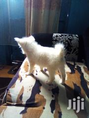 Young Male Purebred Japanese Spitz | Dogs & Puppies for sale in Nairobi, Westlands