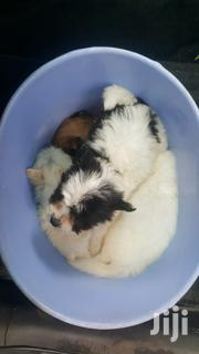 Young Female Purebred Japanese Spitz | Dogs & Puppies for sale in Nairobi, Umoja II