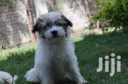 Young Male Purebred Silky Terrier | Dogs & Puppies for sale in Nairobi, Nairobi West