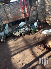 Indian Blue,Pide And White Peacocks For Sale | Birds for sale in Kilifi, Tezo