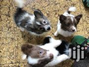 Baby Male Mixed Breed Japanese Spitz | Dogs & Puppies for sale in Nairobi, Nairobi Central