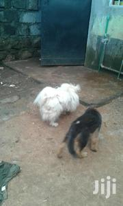 Senior Male Purebred Maltese | Dogs & Puppies for sale in Kiambu, Ruiru