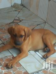 Young Female Purebred Boerboel | Dogs & Puppies for sale in Kiambu, Witeithie