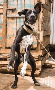 Young Male Mixed Breed Great Dane | Dogs & Puppies for sale in Uasin Gishu, Kamagut
