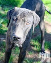 Young Male Purebred Great Dane | Dogs & Puppies for sale in Nairobi, Embakasi