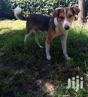 Adult Male Purebred Jack Russell Terrier | Dogs & Puppies for sale in Nyeri, Mugunda
