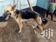 Young Male Purebred German Shepherd | Dogs & Puppies for sale in Kisumu, Central Kisumu