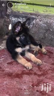 Young Male Purebred German Shepherd   Dogs & Puppies for sale in Mombasa, Bamburi