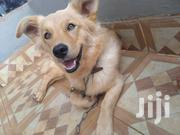 Young Male Purebred Golden Retriever | Dogs & Puppies for sale in Nairobi, Kahawa
