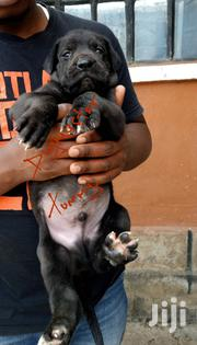 Young Male Purebred Great Dane | Dogs & Puppies for sale in Nakuru, Bahati