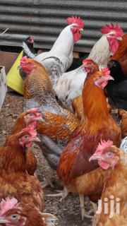 Kenbro Chickens | Livestock & Poultry for sale in Kajiado, Ongata Rongai