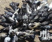 Rock Pigeons For Sale | Birds for sale in Kirinyaga, Thiba