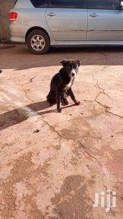 Adult Female Mixed Breed Border Collie | Dogs & Puppies for sale in Kiambu, Thika