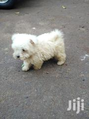 Baby Male Purebred Maltese | Dogs & Puppies for sale in Nairobi, Westlands