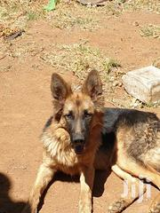 Young Male Purebred German Shepherd | Dogs & Puppies for sale in Nairobi, Karen
