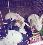 Big and Small DUTCH Rabbit   Livestock & Poultry for sale in Nakuru, Solai