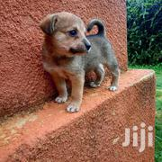 Baby Female Mixed Breed Finnish Spitz | Dogs & Puppies for sale in Machakos, Machakos Central