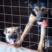 Adult Male Mixed Breed German Shepherd | Dogs & Puppies for sale in Kakamega, Shirere