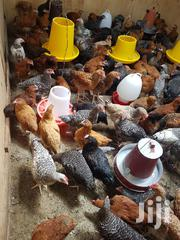 Pure Kuroiler | Livestock & Poultry for sale in Kericho, Chepseon