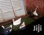 GEESE ( Mbata Msinga) | Livestock & Poultry for sale in Kisii, Kisii Central