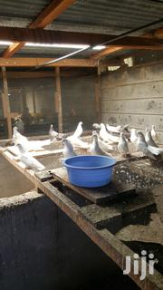 Booted White Doves For Sale In Support Of The Orphanage | Birds for sale in Nairobi, Pangani