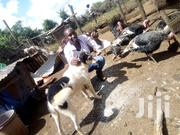 Turkey. Toms And Poults Only | Livestock & Poultry for sale in Nyandarua, Central Ndaragwa
