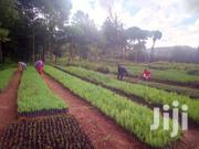 Exotic Trees Seedlings- Pine, Cypress, Grevillia, Eucalyptus | Garden for sale in Nakuru, Molo