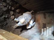 Male And A Female Rabbit | Livestock & Poultry for sale in Busia, Burumba