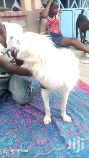 Adult Male Purebred Japanese Spitz | Dogs & Puppies for sale in Kajiado, Kitengela