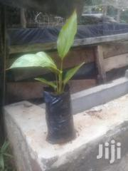 Traveller Palm | Feeds, Supplements & Seeds for sale in Embu, Mbeti North