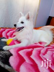 Adult Male Purebred Japanese Spitz | Dogs & Puppies for sale in Nairobi, Utawala