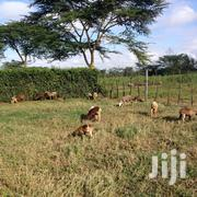 8 Grazing Sheep For Sale | Livestock & Poultry for sale in Nyeri, Karima