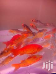 Fish ,Aquarium | Fish for sale in Nairobi, Nairobi Central