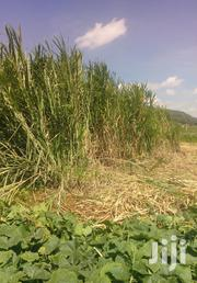 Quality Nappier Grass,Sillage,Low Price | Feeds, Supplements & Seeds for sale in Kiambu, Ndeiya