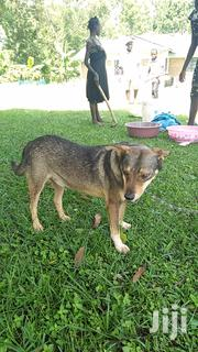 Young Male Purebred | Dogs & Puppies for sale in Kakamega, Butsotso East