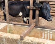 Dairy Cow For Sale   Other Animals for sale in Tharaka-Nithi, Mugwe