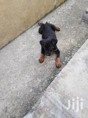 Baby Female Purebred Rottweiler | Dogs & Puppies for sale in Mombasa, Bamburi