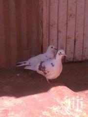 Pigeons On Sale | Birds for sale in Nairobi, Uthiru/Ruthimitu